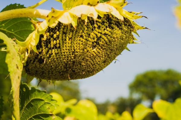 Семена подсолнечника Mas 97.A