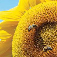 Семена подсолнечника Лимагрейн гибрид Тунка / Насіння соняшника Лімагрейн гібрид  Тунка