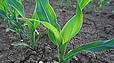 Насіння кукурудзи гібрид ЛГ 3258 - посівний матеріал