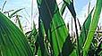 Семена кукурузы гибрид ЛГ 3285 - посевной материал