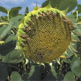 Семена подсолнуха Помар - посевной материал