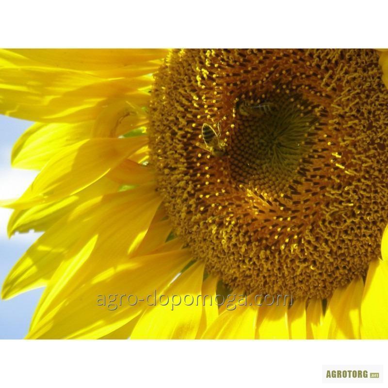 Семена подсолнуха Украинское солнышко