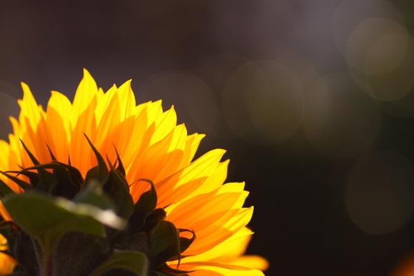 Семена подсолнечника Заграва - посевной материал