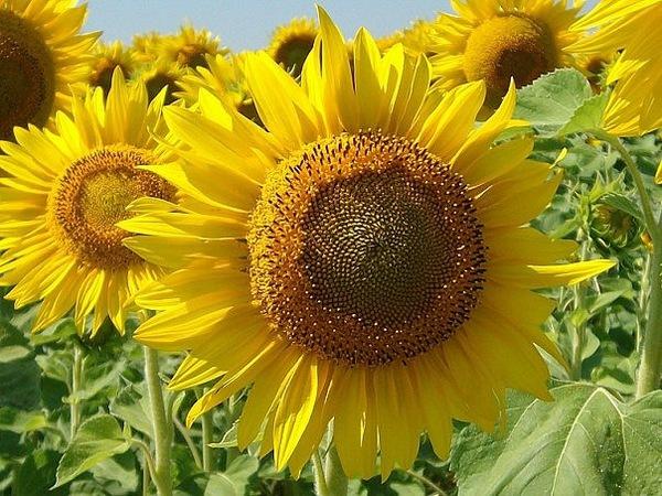 Семена подсолнуха сорт Атилла - посевной материал