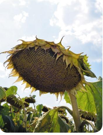Насіння соняшнику Лакомка - посівний матеріал