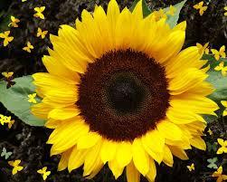 Семена подсолнуха сорт Утро/  Насіння соняшника сорт Ранок