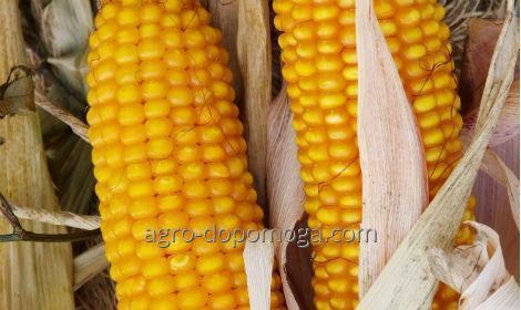 Кукуруза сорт Амарок 300