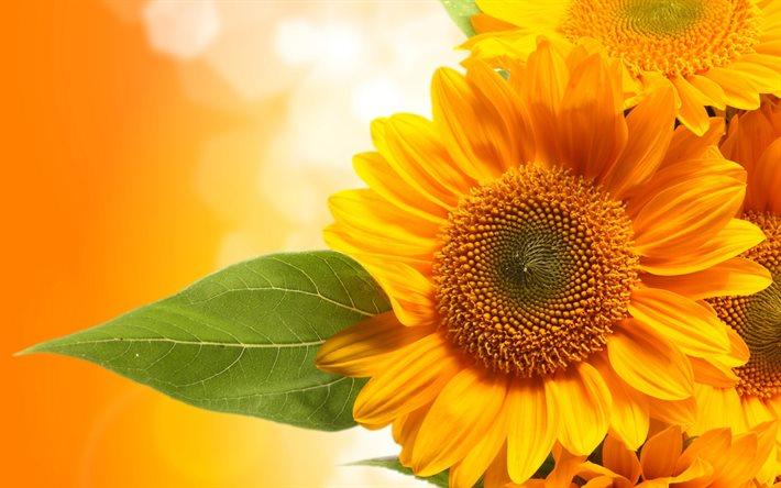 Семена подсолнуха РІМІ */  Насіння соняшника  РІМІ *