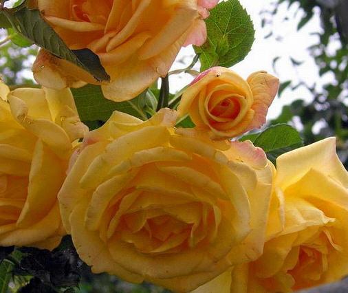 Саженцы роз плетистых Мишка (Michka)