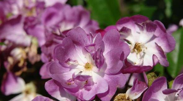 Розы плетущиеся Рабсодия Блю