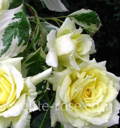 Купить Розы Патио (бордюрная группа)