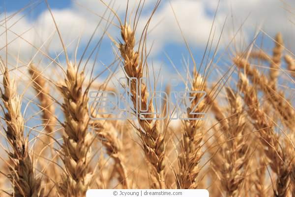Пшеница 2 и 3-го класса