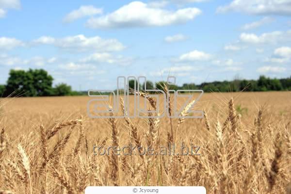Купить Пшеница продовольственная 3-й класс