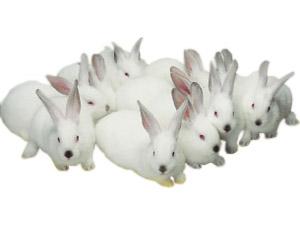 Купить Кролик самка калифорнийской и новозеландской породы