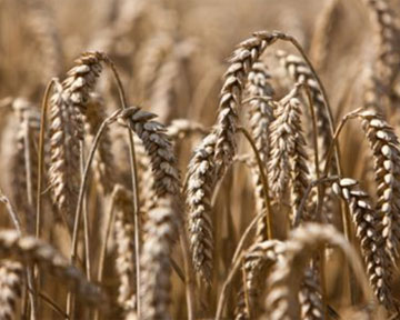 Купить Выращивание зерна до 1000т