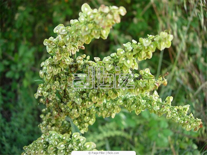 Купить семена щавеля интерфлора украина. большой выбор семян ...