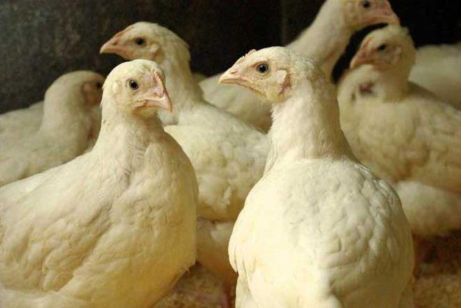 Купить Цыплята-бройлеры