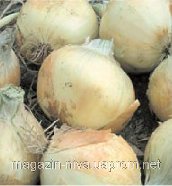 Семена лука Вольф F1 озимого репчатого Hazera 50000семян
