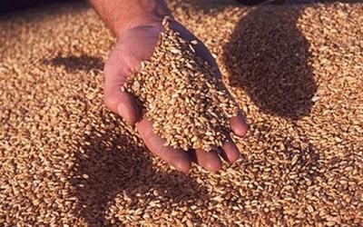 Пшеница фуражная, пшеница, Зерновые культуры