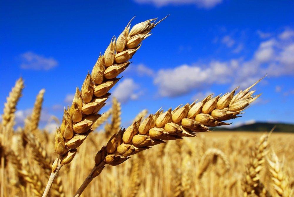 Озимая пшеница  2-Й И 3-Й КЛАСС, УРОЖАЙ 2015 ГОДА
