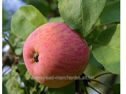 Apple-tree Melba.