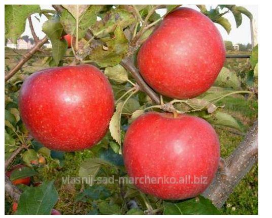Яблоня Рубинола.