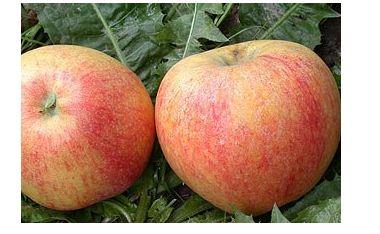 Яблоня сорт Теремок.