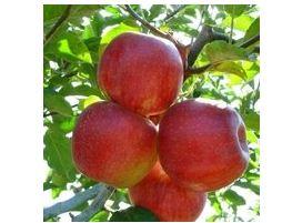 Яблоня сорт Джонаголд Декоста.