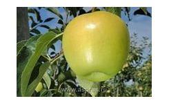 Яблоня сорт Голден Рейженс.