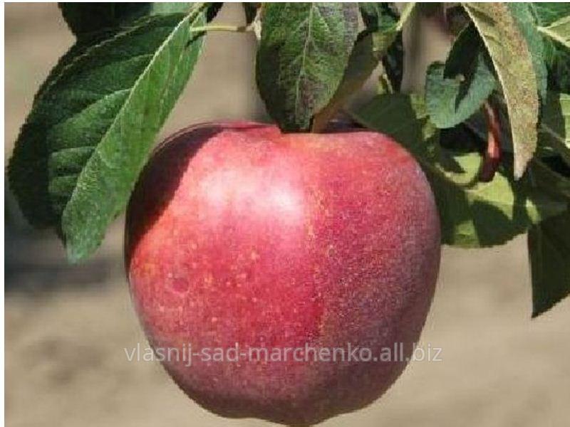 Яблоня сорт Роял Ред Делишес.