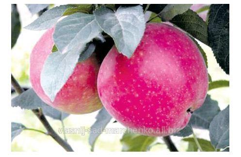 Яблоня сорт Джумбо Помм.