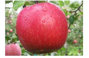 Elmaların fidanları