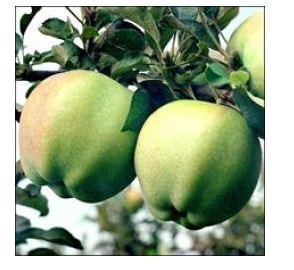 Яблоня сорт Сапфир.