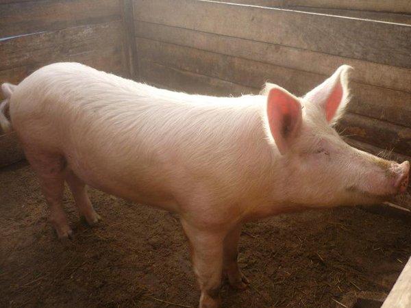 Купить Свиньи живым весом