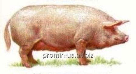 Купить Свині живою вагою