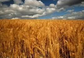 Купить Семена озимой пшеницы Куяльник (элита)