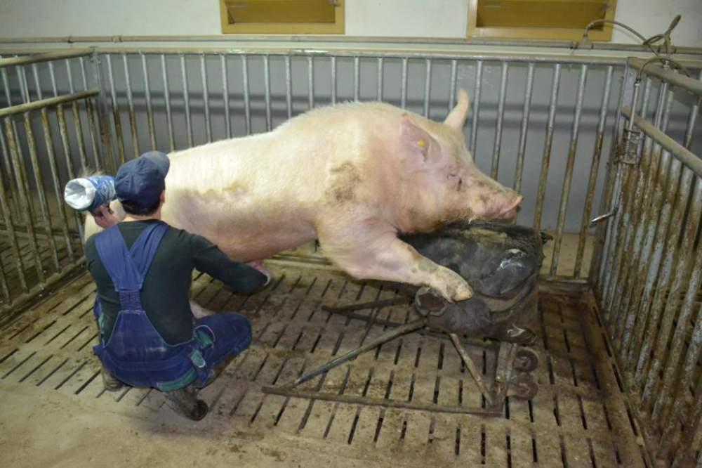 Как покрыть свинью в домашних условиях