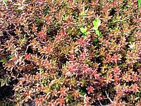 Купити Очиток білий атропурпуреа