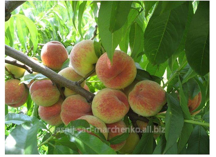 Саженцы плодовые
