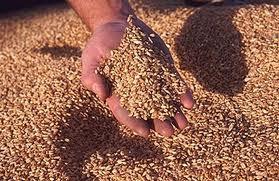 Купить Семена пшеницы