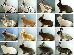 Купить Кролики племенные