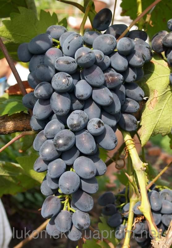 Купить Саженци столового винограда Надежда АЗОС