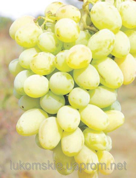 Купить Саженци столового винограда сорт Сашенька