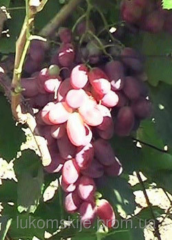 Купить Саженци столового винограда сорт Ризамат
