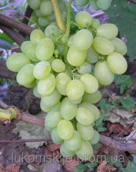 Купить Саженци винограда Вива Айка