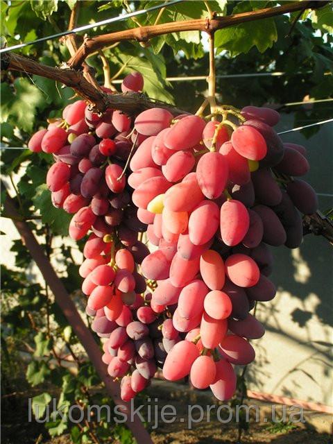 Купить Саженци винограда Спорт-2 Зарево,Придорожний