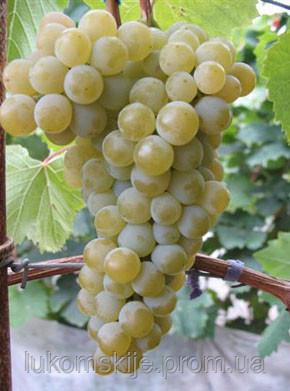 Купить Саженци винного сорта винограда Цитронный Магарача
