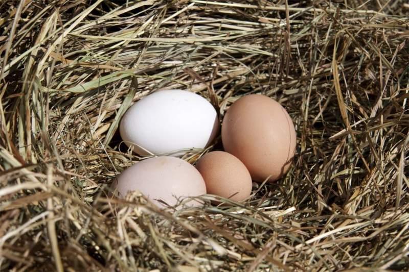 Купить Яйцо куриное инкубационное Organic eggs