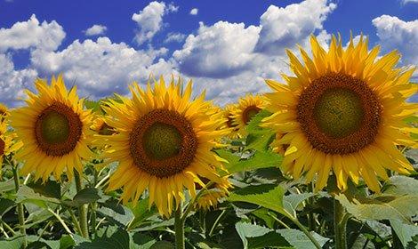 Sunflower seeds, Atilla (95 – 100 dn.) Hybrid
