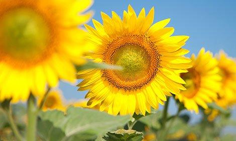 Семена подсолнечника, Сонячный настрий (98 – 103 дн) Гибрид